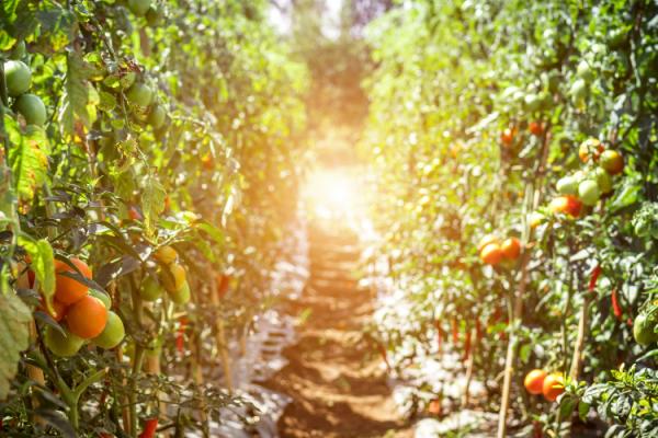 Madrid celebra su primera semana del tomate